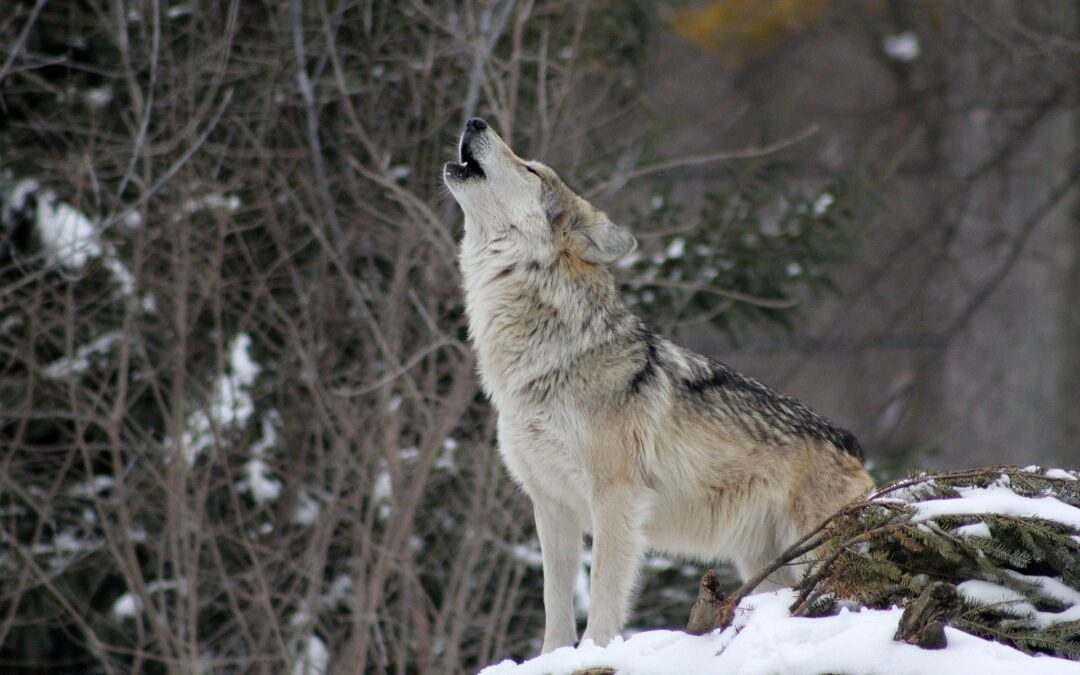 Colorado Votes For Wolf Reintroduction